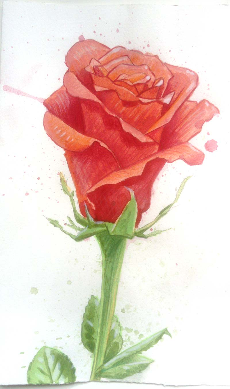 Painted red rose in watercolour and colour pencils