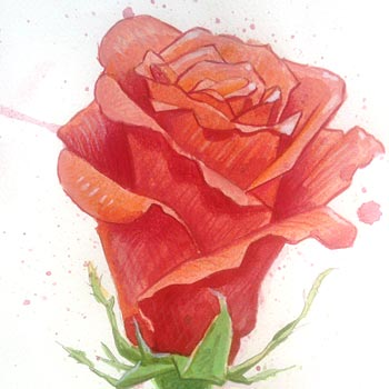 Preview image of Painted red rose in watercolour and colour pencils
