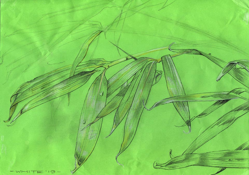 drawing study of bamboo